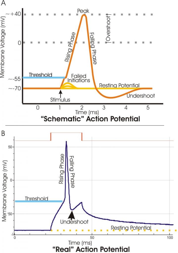 Action_potential_vert